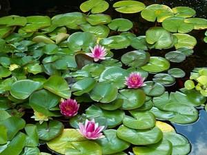 long-island-pond-plants_1