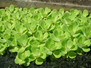 long-island-pond-plants_3