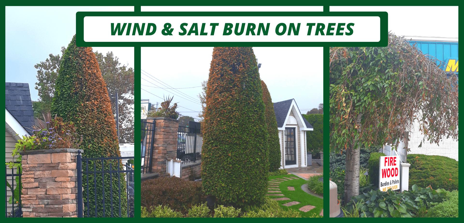 WIND & SALT BURN ON TREES